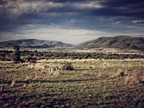 Зебра, Южная Африка