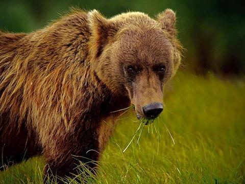 Аляскинский бурый медведь
