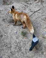 Интересное о воронах