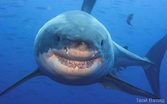 Нападение белой акулы на людей в Приморье