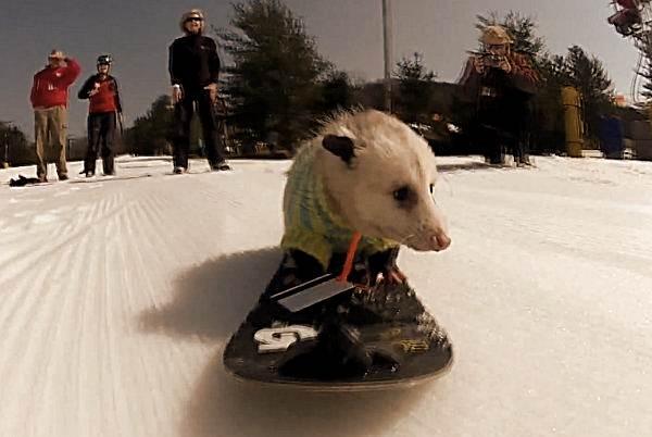 Опоссум-сноубордист по имени Рататуй