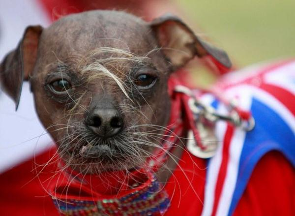 Самая уродливая собака в мире