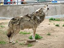 Волки загрызли женщину