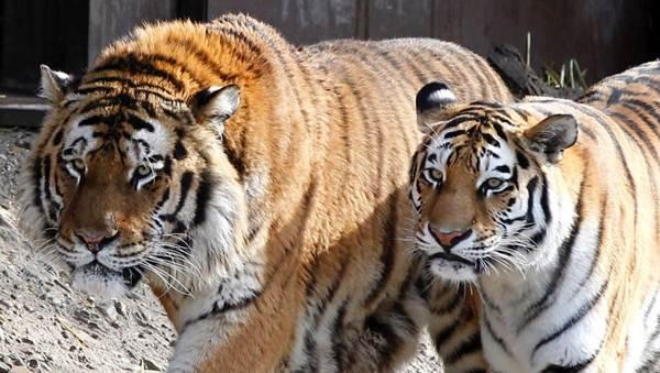 Амурские тигры в зоопарке Кельна