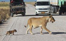 Пропустите львёнка